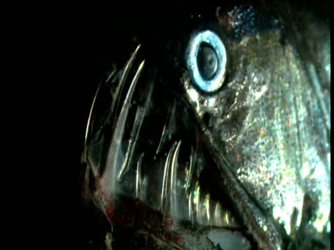 head of chauliodus fangfish - deep sea fish stock videos & royalty-free footage