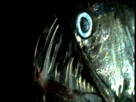 vídeos de stock, filmes e b-roll de head of chauliodus fangfish - feiura