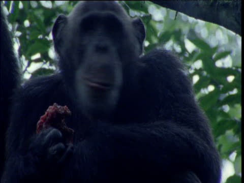 head of chimp chewing meat, ngogo - common chimpanzee stock videos & royalty-free footage