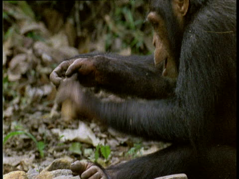 head of chimpanzee, tilt down to show it using stones to crack nuts and then feeding - intelligence stock videos and b-roll footage