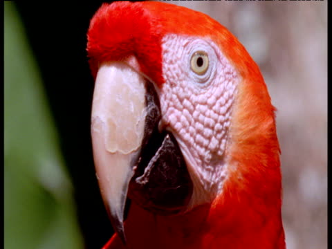 head of colourful scarlet macaw - scarlet macaw stock videos and b-roll footage