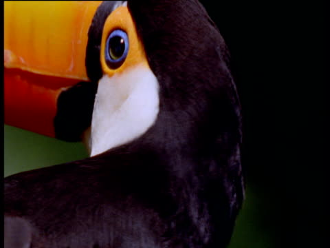 Head of colourful toco toucan