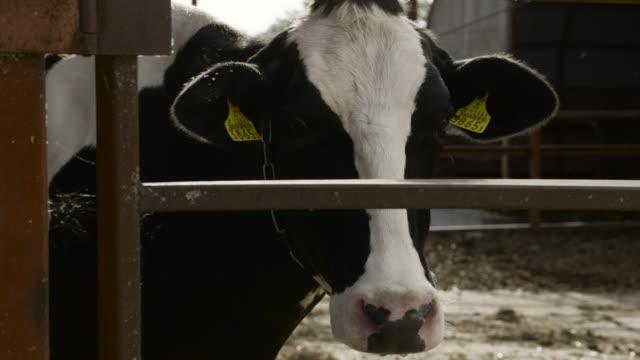 head of cow, japan. - 家畜点の映像素材/bロール