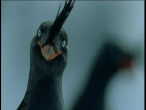 head of crested auklet, talan island - animal's crest stock videos and b-roll footage