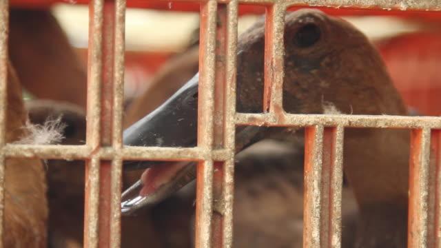 vídeos de stock, filmes e b-roll de head of ducks in a cage in animal market. - cativeiro