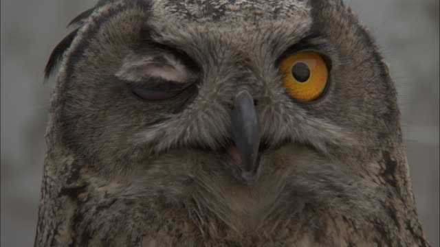 head of eagle owl, beijing. - curiosity stock videos & royalty-free footage