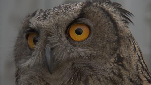 Head of Eagle owl, Beijing.