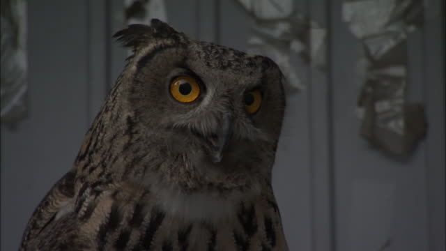 head of eagle owl on perch in rehabilitation centre, beijing. - 動物の色点の映像素材/bロール