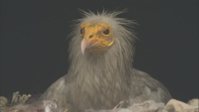 Head of Egyptian vulture looks around on nest, Bateshwar Available in HD.