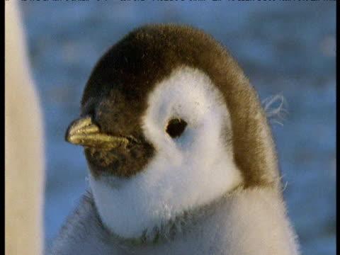 head of emperor penguin chick, terra nova, antarctica - emperor stock videos and b-roll footage