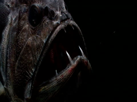head of fangtooth breathing, gulf of mexico - deep sea fish stock videos & royalty-free footage