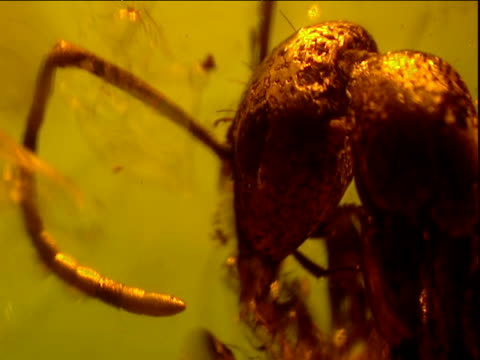 Head of fossilized ant preserved in amber