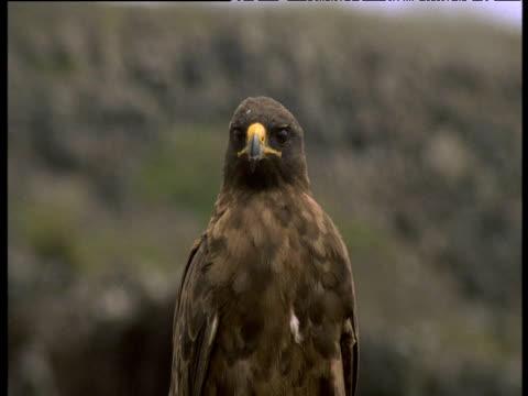 vídeos de stock e filmes b-roll de head of galapagos hawk as it calls, galapagos - boca aberta