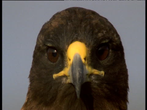 head of galapagos hawk looks around blinking, galapagos - blinking stock videos & royalty-free footage