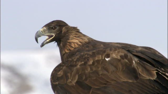 CU Head of Golden eagle (Aquila chrysaetos), Jiakuerte, China