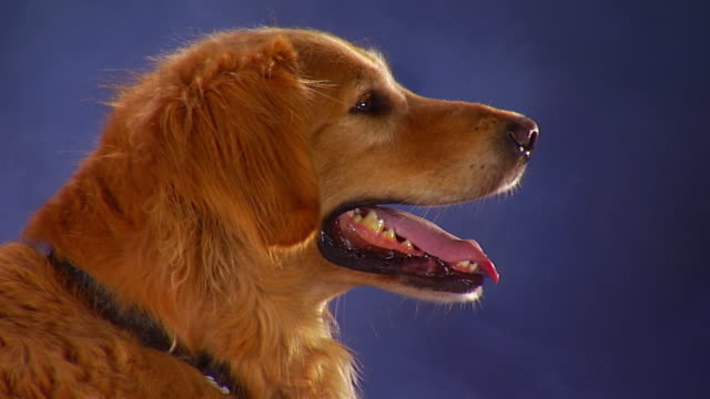 vídeos de stock e filmes b-roll de ms head of golden retriever in profile as it siting in front of backdrop / united states - fundo azul