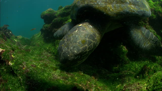 head of green turtle as it feeds on weed covered rocks, galapagos islands available in hd. - 海草点の映像素材/bロール
