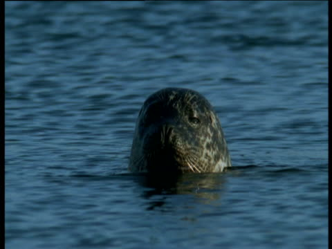 head of grey seal pokes out of water as it looks around before submerging, western scotland - gråsäl bildbanksvideor och videomaterial från bakom kulisserna