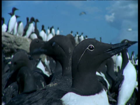 Head of guillemot looks around as it sits on nest, Funk Island, Canada
