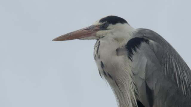 Head of heron, Japan.