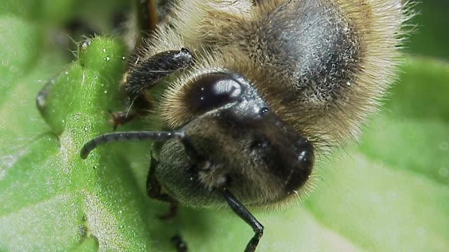 Head of honey bee (Apis mellifera) on leaf, England