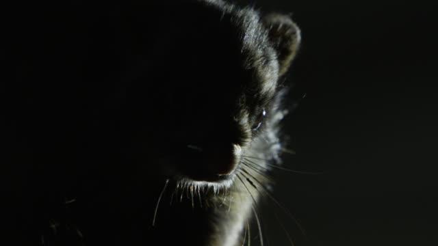vídeos de stock, filmes e b-roll de head of japanese giant flying squirrel (petaurista leucogenys) at night. - bigode de animal