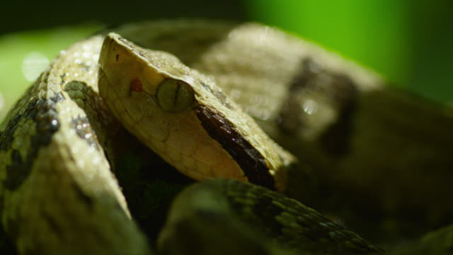 head of jararaca snake (bothrops jararaca) curled up amongst foliage. - curled up stock videos and b-roll footage