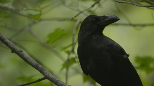 head of jungle crow, hokkaido, japan. - crow stock videos & royalty-free footage