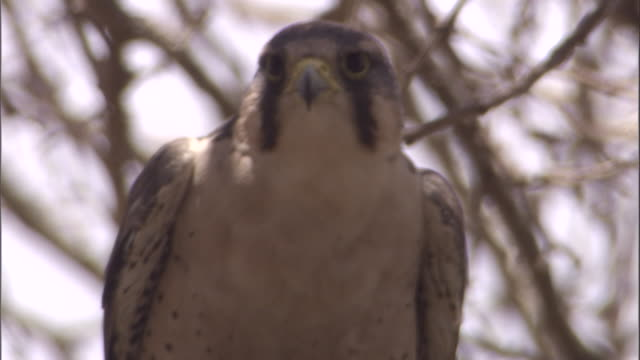 Head of Lanner falcon perched in tree which then takes off. Available in HD.