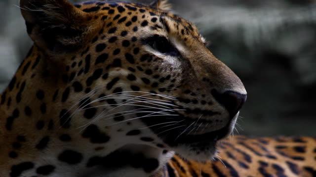 head of leopard - animal head stock videos & royalty-free footage