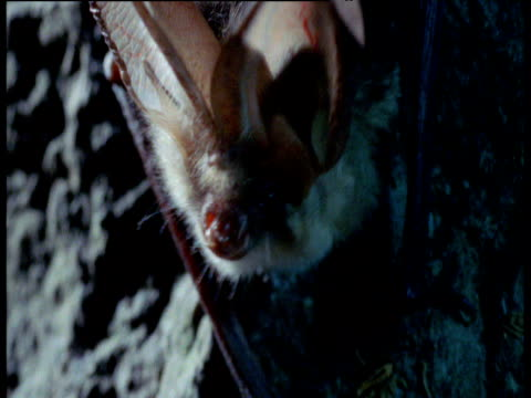 head of long eared bat, uk - lunghezza video stock e b–roll