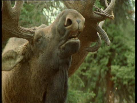 head of male moose as it calls, branch hangs off of one antler, alaska - elk stock videos & royalty-free footage