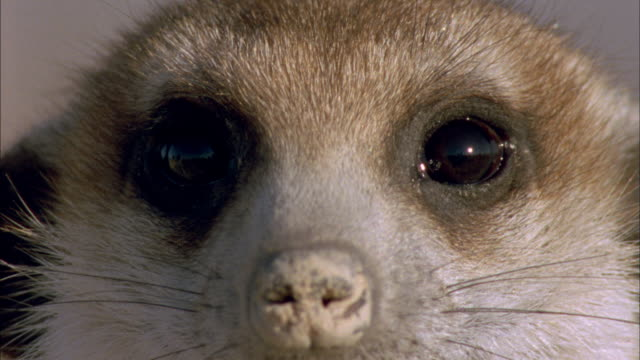 Head of Meerkat as it look around Available in HD.