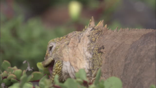 head of moulting land iguana as it bites at portulaca flower, south plaza, galapagos islands available in hd. - iguana stock videos & royalty-free footage