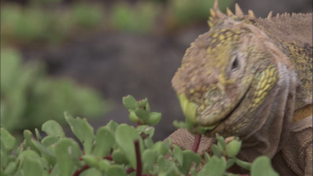 head of moulting land iguana as it bites portulaca flower, south plaza, galapagos islands available in hd. - galapagos land iguana stock videos & royalty-free footage