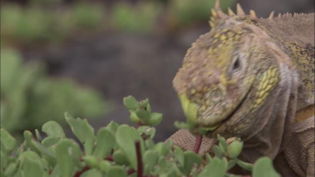 vídeos y material grabado en eventos de stock de head of moulting land iguana as it bites portulaca flower, south plaza, galapagos islands available in hd. - iguana de los galápagos