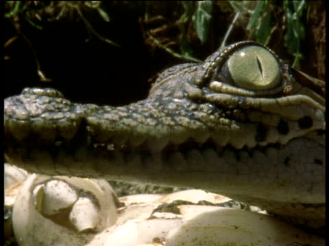 head of nile crocodile hatchling, side view, closes and opens eye - blinking stock videos & royalty-free footage