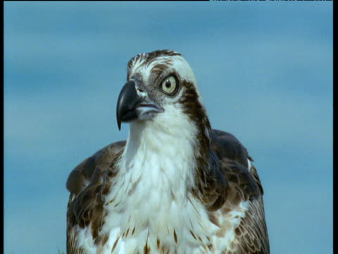 head of osprey as it calls - osprey stock videos & royalty-free footage