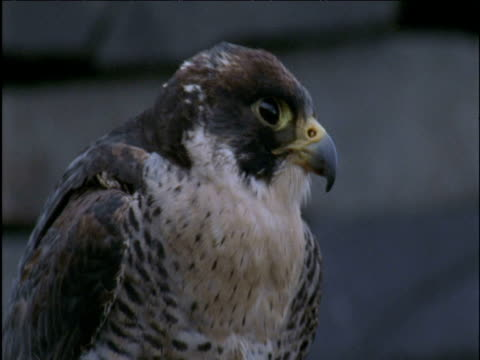 head of peregrine falcon as it peers around in quarry - wanderfalke stock-videos und b-roll-filmmaterial