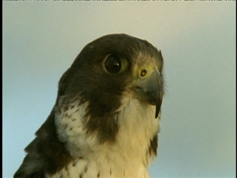 head of peregrine falcon looks one way then turns to look another way - wanderfalke stock-videos und b-roll-filmmaterial