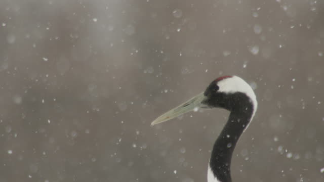 head of red crowned crane (grus japonensis) as snow falls. japan - crane stock videos & royalty-free footage