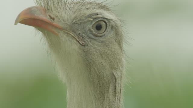Head of red legged seriema (Cariama cristata) looks around.