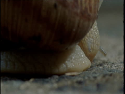 head of roman snail emerges from behind its shell - weinbergschnecke stock-videos und b-roll-filmmaterial