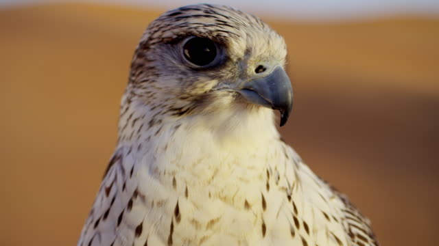 vídeos y material grabado en eventos de stock de head of saker falcon in middle eastern desert - arabia