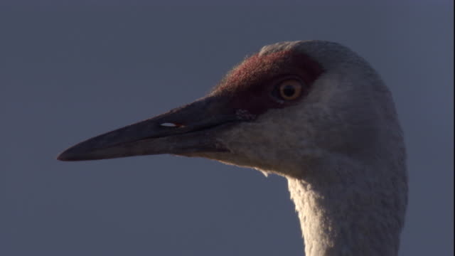 head of sandhill crane. available in hd - sandhill crane stock videos & royalty-free footage