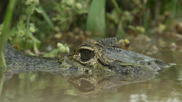 head of semi submerged spectacled caiman (caiman crocodilus). - カイマン点の映像素材/bロール