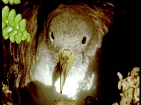 head of shearwater sat on nest, azores - 大西洋諸島点の映像素材/bロール