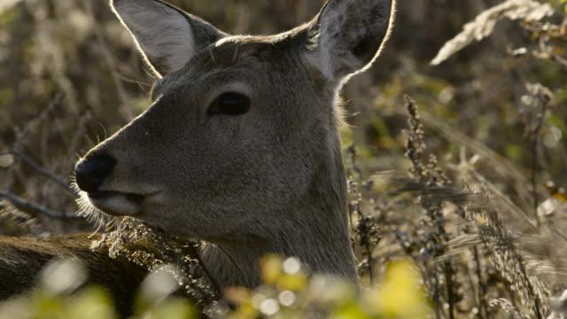 head of sika deer doe, hokkaido, japan. - doe stock videos & royalty-free footage