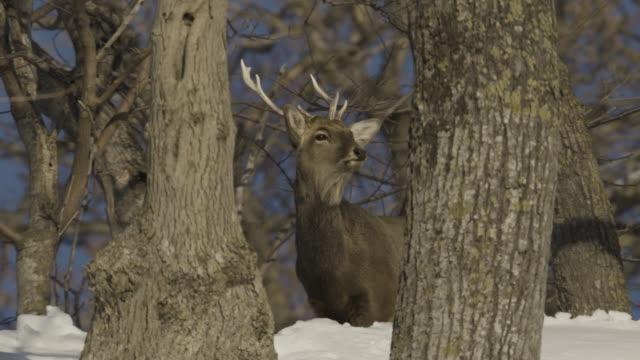 head of sika stag (cervus nippon) peers through trees in snow. - 牡鹿点の映像素材/bロール