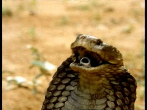 cu head of spitting cobra, kenya - aggression stock videos & royalty-free footage